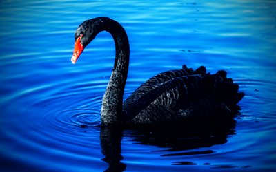 black swan, 4K, blue lake, beautiful birds, swans, Cygnus atratus, Australian black swan