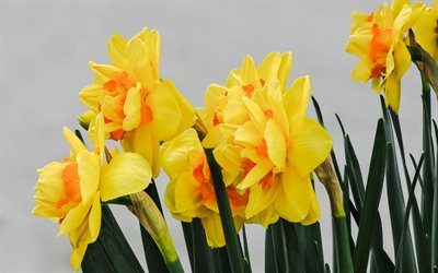daffodils, yellow flowers, spring, spring flowers, plants