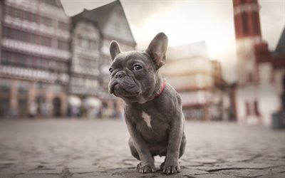 french bulldog, street, pets, puppy, dogs, gray french bulldog, cute animals, bulldogs, french bulldog dogs