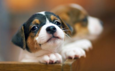 Beagle Dog, muzzle, pets, puppy, dogs, cute animals, Beagle
