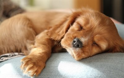 English Cocker Spaniel, sleeping dog, puppy, dogs, cute animals, black dog, pets, English Cocker Spaniel Dog