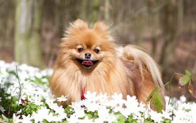Pomeranian Spitz, spring, fluffy little dog, pets, breed decorative dog, white wildflowers