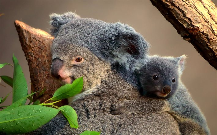 Koala, Australia, little koala with mom, cute animals, koalas, wildlife, wild animals