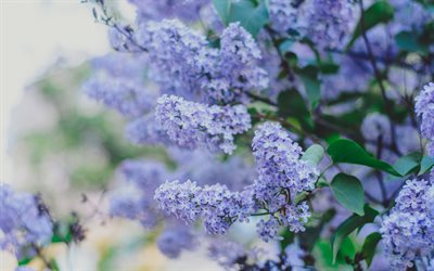 lilac, beautiful purple spring flowers, lilac branch, floral background, spring landscape