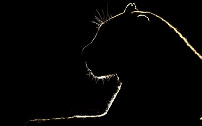 lion silhouette, black background, panther silhouette, wild animals, wildlife, wild cat silhouette
