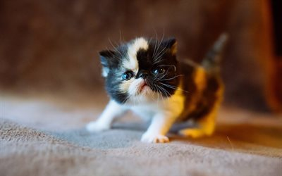 kitten, small cat, cute animal, pet