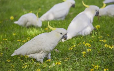 Yellow-crested cockatoo, white parrots, beautiful white birds, lesser sulphur-crested cockatoo, parrots