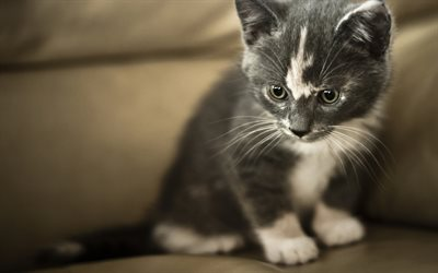 small gray kitten, cute little animals, white gray cat, pets, kittens