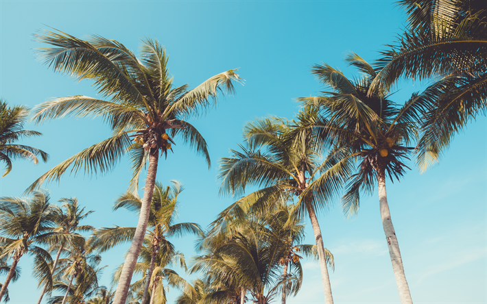 tropical island, palm trees, coconuts, blue clear sky, tall palms
