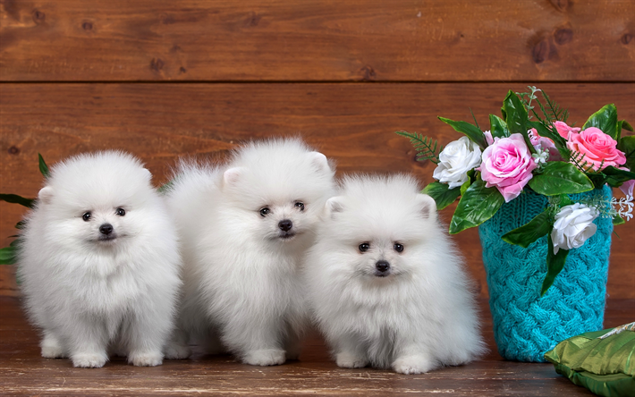 Must see Pomeranian Anime Adorable Dog - thumb2-white-pomeranian-puppies-dogs-pomeranian-spitz  Graphic_293536  .jpg
