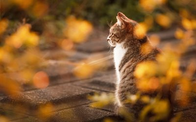 ダウンロード画像 灰白猫, 秋, かわいい動物たち, 猫, イギリスshorthair猫, ペット フリー. のピクチャを無料デスクトップの壁紙