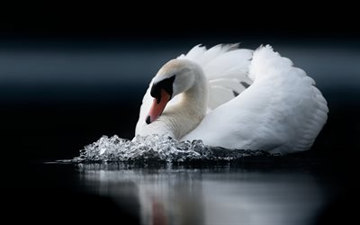 white swan, lake, beautiful white bird, swans, water