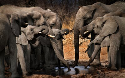 elephants, wildlife, lake, elephants drink water, elephant family, Africa