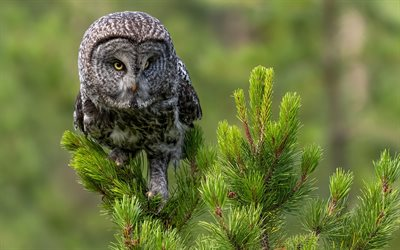 Tawny Owl, wildlife, Strix aluco, brown owl, forest, Owl