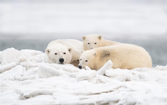 download wallpapers polar bears predators wildlife. Black Bedroom Furniture Sets. Home Design Ideas
