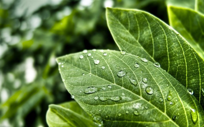 green leaves, water drops on leaves, ecology concepts, environment, eco concepts, background with green leaves