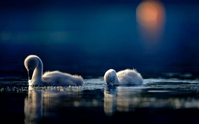 little swans, lake, swan chicks, bokeh, small swans, cute birds, swans