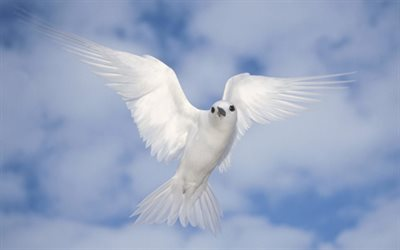 dove in sky, close-up, blue sky, peace bird, white bird, dove