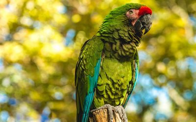 Great green macaw, great military macaw, green parrot, beautiful green bird, South America, macaw, parrots