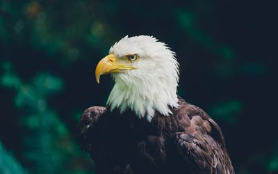 Bald eagle, bird of prey, North America, Alaska, wildlife, eagle, beautiful birds, USA symbol