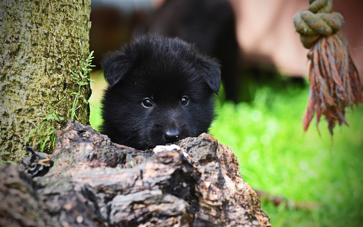 Download Wallpapers 4k Belgian Shepherd Close Up Pets Puppy Cute Animals Black Puppy Small Belgian Shepherd Dogs Belgian Shepherd Dog For Desktop Free Pictures For Desktop Free