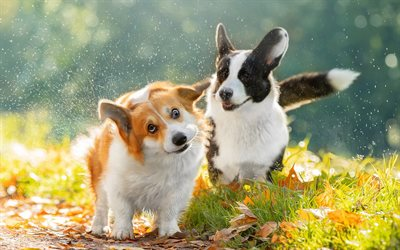 Two Corgi, autumn, pets, cute animals, Welsh Corgi, dogs, bokeh, Corgi, cute dog, Welsh Corgi Dog, Pembroke Welsh Corgi