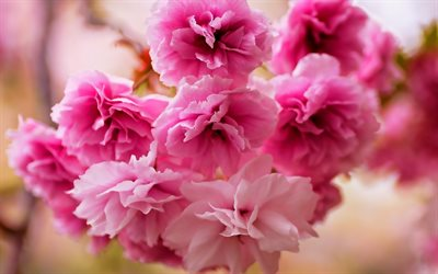 sakura, bokeh, cherry blossom, pink flowers, spring, beautiful flowers