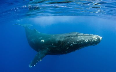 Humpback whale, marine mammal, underwater world, ocean, under water, large whale