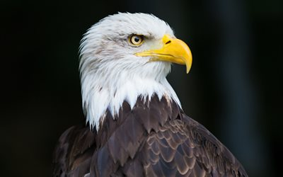 Bald eagle, bird of prey, American birds, North America, symbol of America, Haliaeetus leucocephalus
