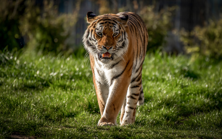 tiger, predator, big tiger, wildlife, summer, green grass, dangerous animals