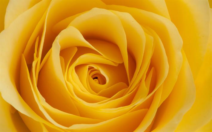 Descargar Fondos De Pantalla La Rosa Amarilla 4k Close Up Rosas