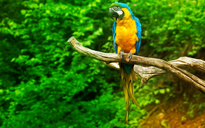 Macaw, jungle, parrots, branch, colorful parrot, Ara