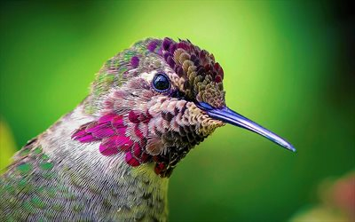 Hummingbird, close-up, becco, piccolo uccello, Trochilidae