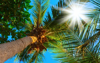 Palm tree, blue sky, palm leaves, coconuts, summer, vacation, travel