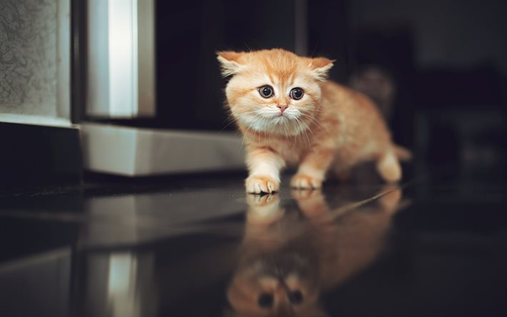 little ginger kitten, Scottish Fold, cute animals, pets, little ginger cat, ginger Scottish Fold, cats