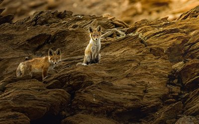 foxes, rock, wildlife, wild animals, little foxes, dangerous animals
