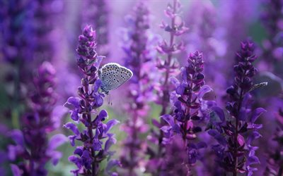 lupins, butterfly on flowers, purple flowers, wildflowers