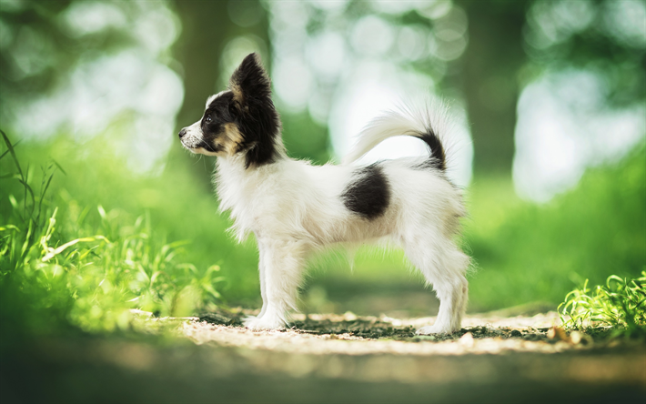Wallpapers Papillon Dog Small