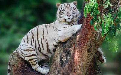 white tiger, predators, tiger on a tree, tigre, dangerous animals