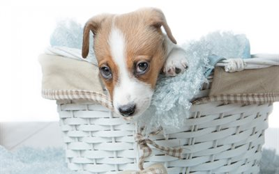 Jack Russell Terrier, puppy, little cute dog, pets, puppy in a basket, cute animals, dogs