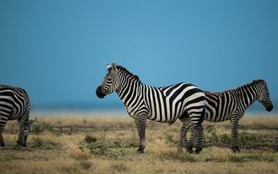 zebras, wild animals, africa, field, zebra, wild nature