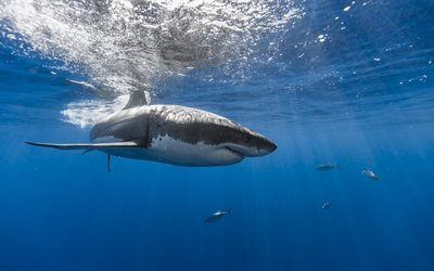 shark, underwater, ocean, predator, white shark