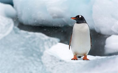 Penguin, Antarctica, snow, ice