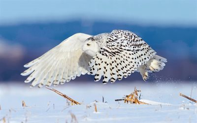 snowy owl, snow, winter, flight, white bird, beautiful bird
