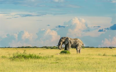 Big elephant, Africa, morning, sunrise, gray elephant, wildlife, elephants
