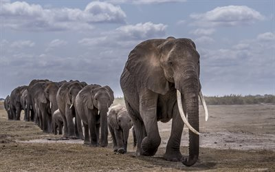 elephants, wildlife, wild animals, herd of elephants, elephant family, little elephants