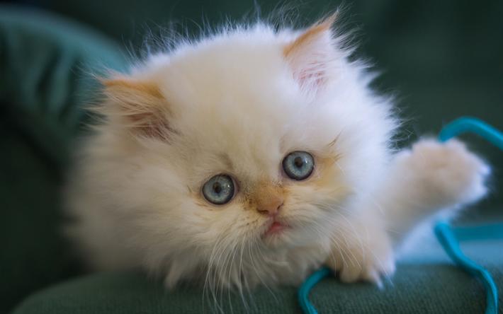 Scarica Sfondi Persiano Cucciolo Occhi Azzurri Carino Animali