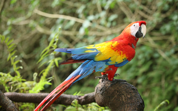 Scarlet macaw, beautiful red parrot, macaw, tropical birds, South America