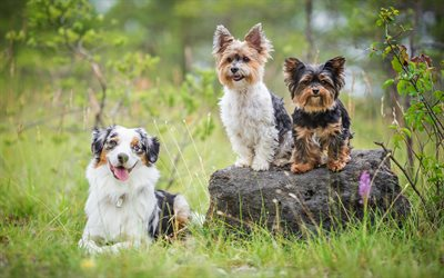 yorkshire terriers, cute animals, dogs, friends, aussie, australian shepherd, fluffy white dog, friendship concepts