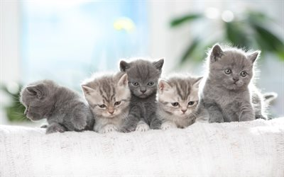 4k, British Shorthair Cats, family, domestic cat, kittens, gray cats, pets, cats, cute animals, British Shorthair
